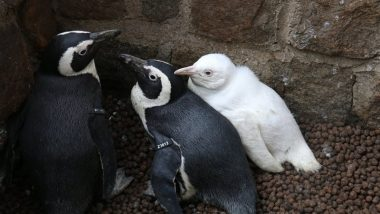 Rare Albino Penguin Spotted at Poland's Gdansk Zoo (See Pictures)